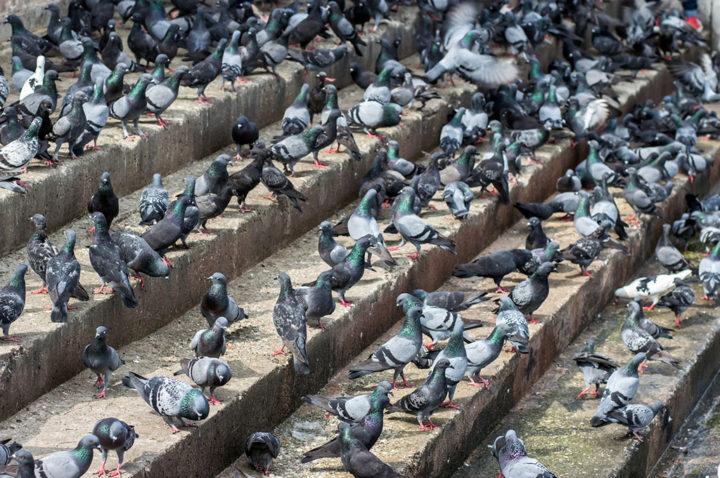 infestazione piccioni