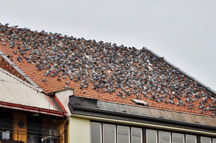 tetto capannone pieno di piccioni