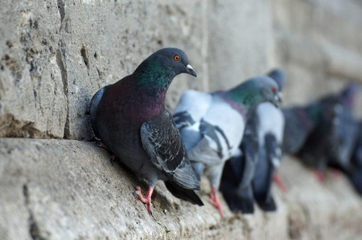 piccioni imbrattano i muri