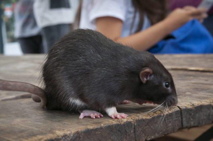 topo nero sul tavolo