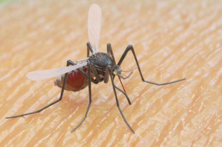 zanzara che sta pungendo