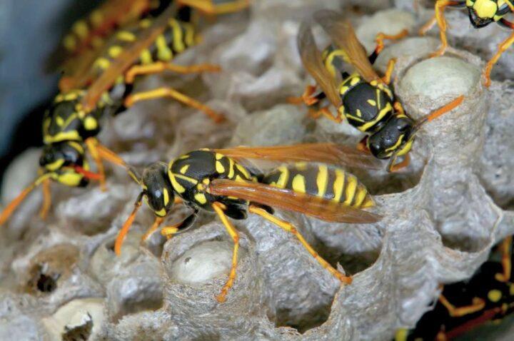 vespe sopra al nido