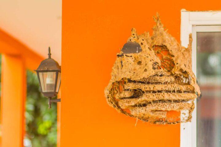 nido vespe sul muro